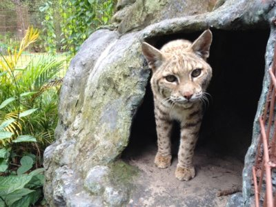 Some sleepy little bobcat peeks out of his den