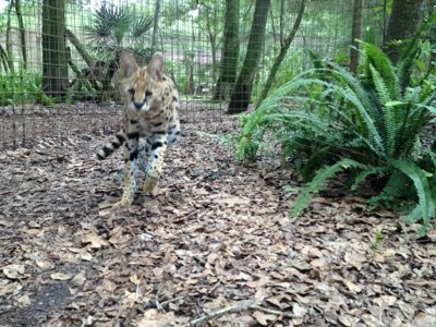 Wait for me, yells Desiree the three legged Serval!