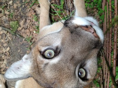 Cougar says I look funny upside down