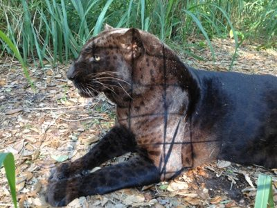 Signs of captivity shadowed on this magnificent black leopard