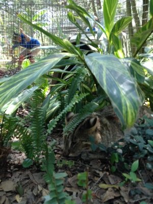 Leopard cat peeks out from under lush plantings to watch