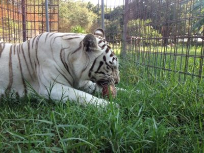 Zabu the white tiger enjoys a snack on a hot June afternoon
