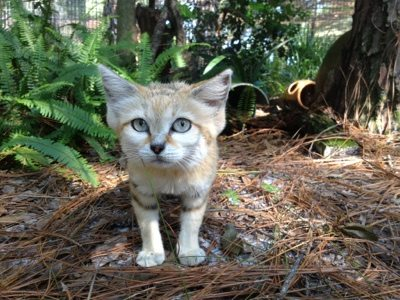 Right size, but still wrong temperament for a pet; sandcat