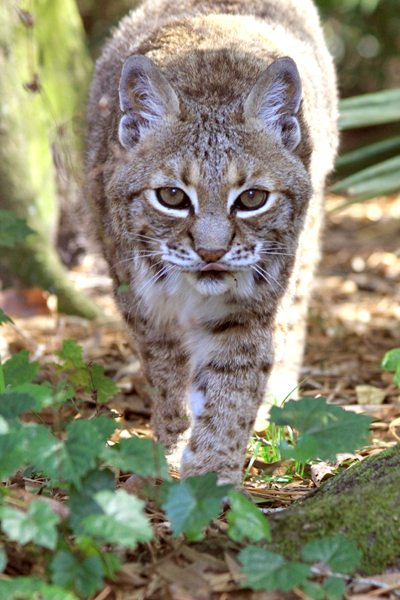 Bobcat Fever is deadly to bobcats, cougars, mountain lions, Florida panthers, tigers and domestic cats