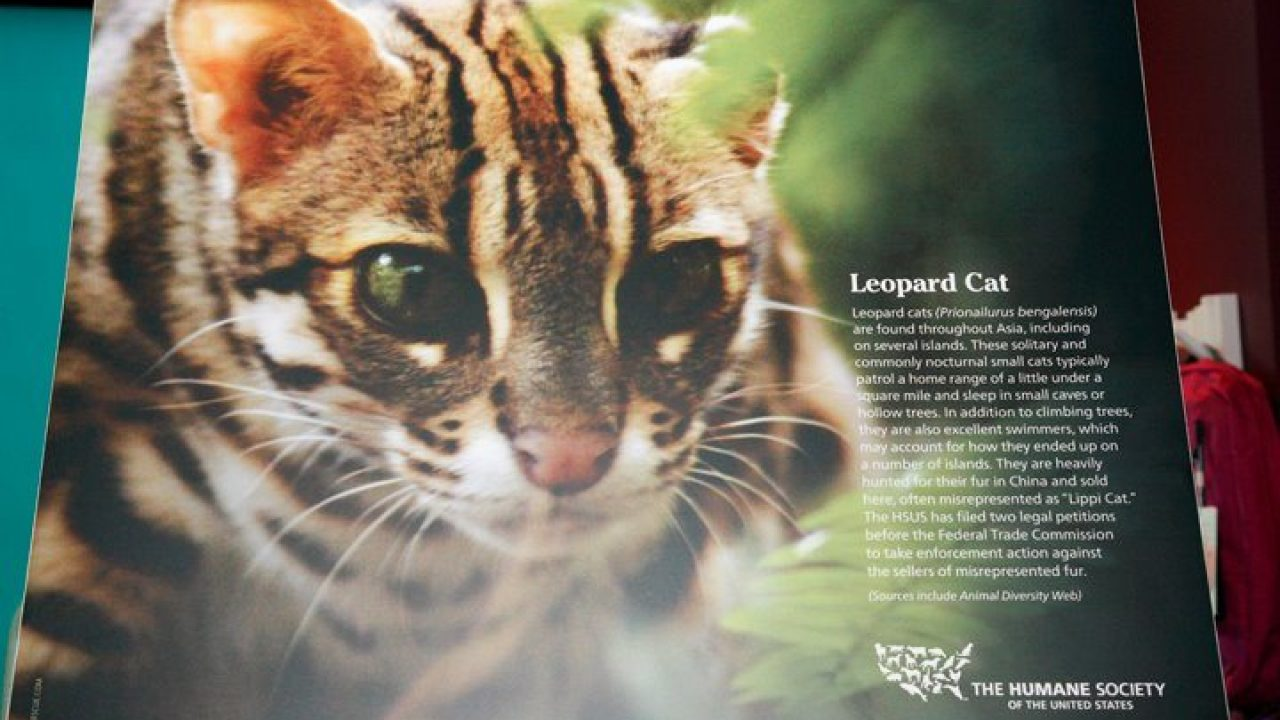 Leopard cat facts, photos, videos, sounds and news