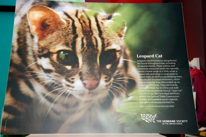 Big Cat Rescue Leopard Cat Helps Save Wild Leopard Cats