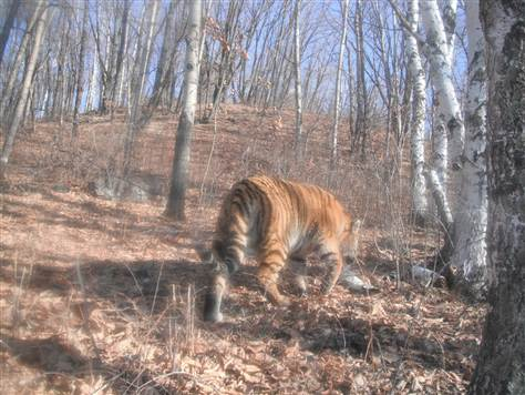 Camera spies Siberian tiger strolling into China