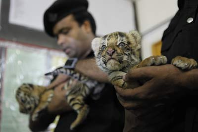 Three tiger cubs poached from Sunderbans for sale