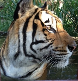 Alex tiger takes a dip in the pool
