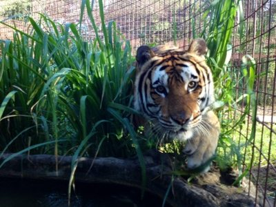 Alex the tiger bounds out of the grass into the pool