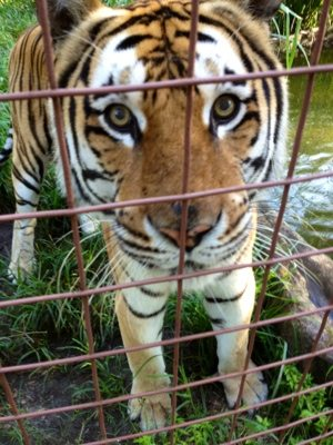 We provide the best home we cat to these magnificent cats, but the sad fact is that they don't belong in cages