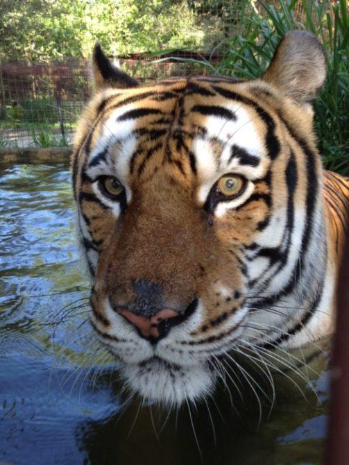 Alex the tiger always looks surprised