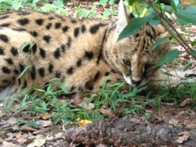 "Serval snacking on a little ""salad"" after dinner"