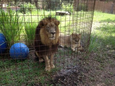 Joseph and Sasha the lions are all sleepy eyed first thing