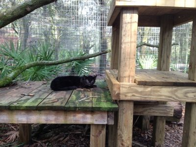 Three pound Geoffroy Cat looks tiny on her tree house