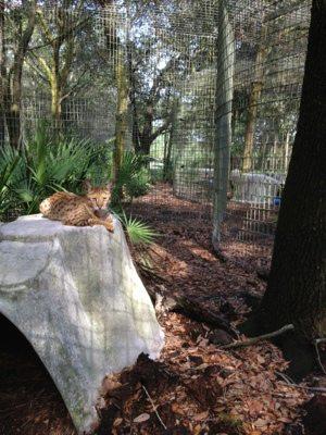 A rare glimpse of Diablo the Savannah Cat