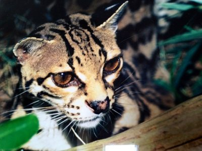 A photo of a Margay who used to live here many years ago