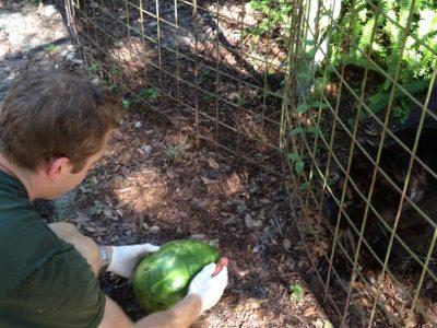 Sabre the leopard gets watermelon enrichment