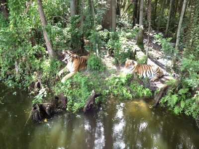 Tigers lounging on the lake bank at Big Cat Rescue