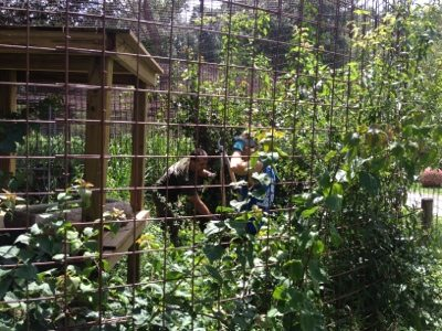 Moses and Bailey's cage is full of plants so volunteers weed out a bit