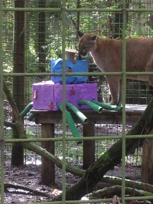 Enya the cougar checks out her octopus enrichment