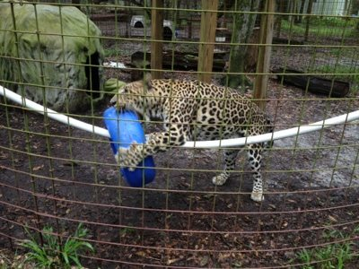 Reno the leopard never looks sad