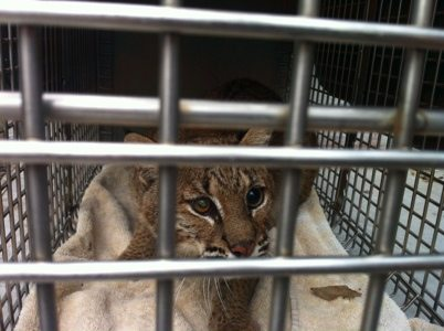 Tommie Girl bobcat gets moved out of rehab area since her sight has not been restored.  She will live with us forever.