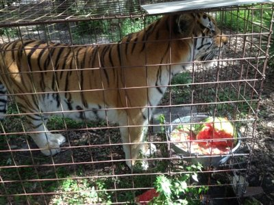 TJ tiger takes his watermelon straight to the waterbowl to make a cool drink