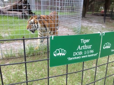 Texas tigers line up for watermelon at Big Cat Rescue