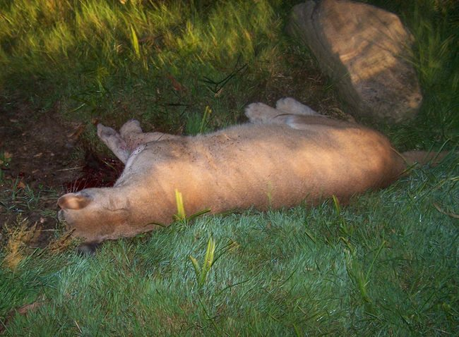 Declawed Cougar Shot After Killing Dog