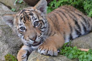 Abuse-TigerCubDiesAtZoo2012