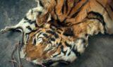 Abuse-Tiger Skin