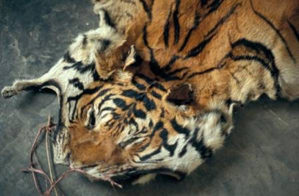 China and others urged to take action to help wild Asian big cats