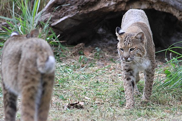 This is a photo of a bobcat for reference, but not the actual bobcat who was rescued