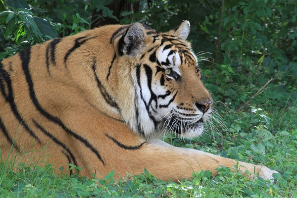 Smuggling Tigers Big Business in the Sunderbans