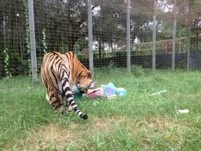 Tigers appreciate enrichment made by campers
