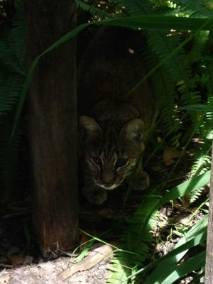 Blind bobcat, Tommie Girl, learns her new Cat-a-Tat