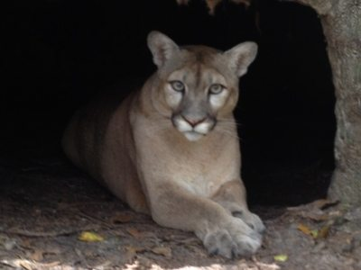 Tobi the Mountain Lion celebrates Apple's new Mountain Lion OS
