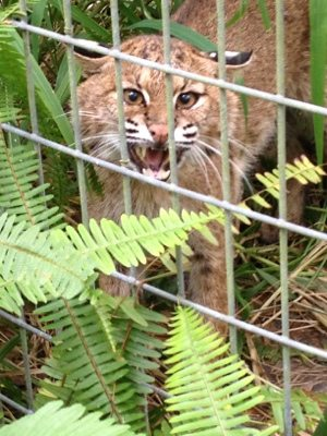 Skip the bobcat is feisty as ever