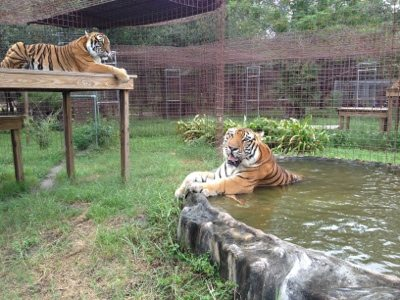 Amanda tiger on platform and Arthur tiger in pool