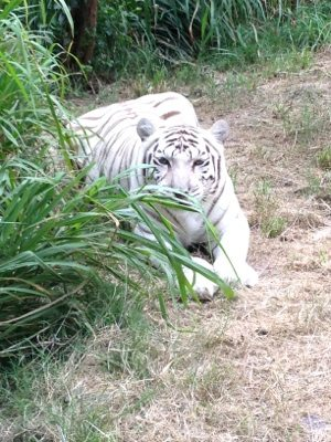 Zabu the white tigress thinks the grass has her hidden