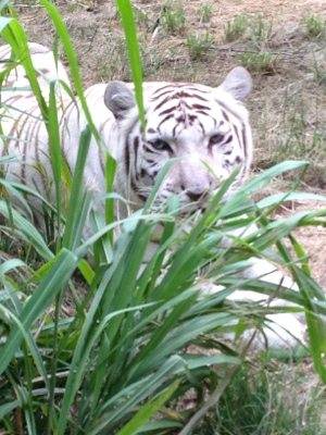 Zabu the white tiger thinks I can't see her