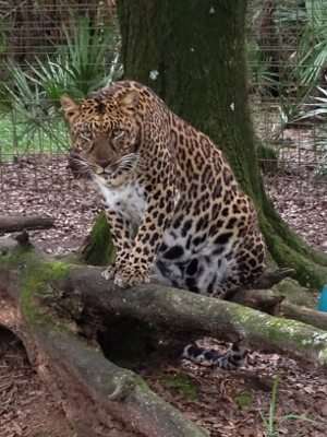 Jade and Armani leopards try a dual sneak approach