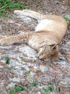 Ancient Siberian Lynx sleeps soundly on the soft sand