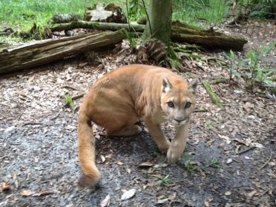 Narla the cougar comes over chirping and calling in excitement