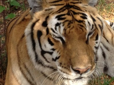 Nikita the tiger is recovering from eye surgery