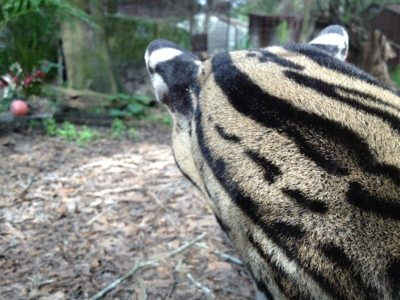 The white spots on the back of exotic cat ears are called flashes