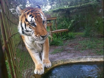 Tiger testing the waters at Big Cat Rescue