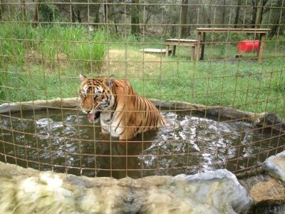 Bengali the tiger enjoys the rain chill in his pool