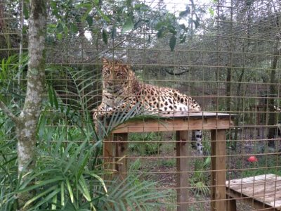 Simba the leopard up on his platforms built by volunteers